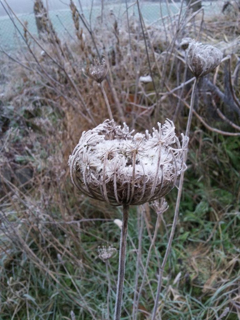 Blüte im Frost